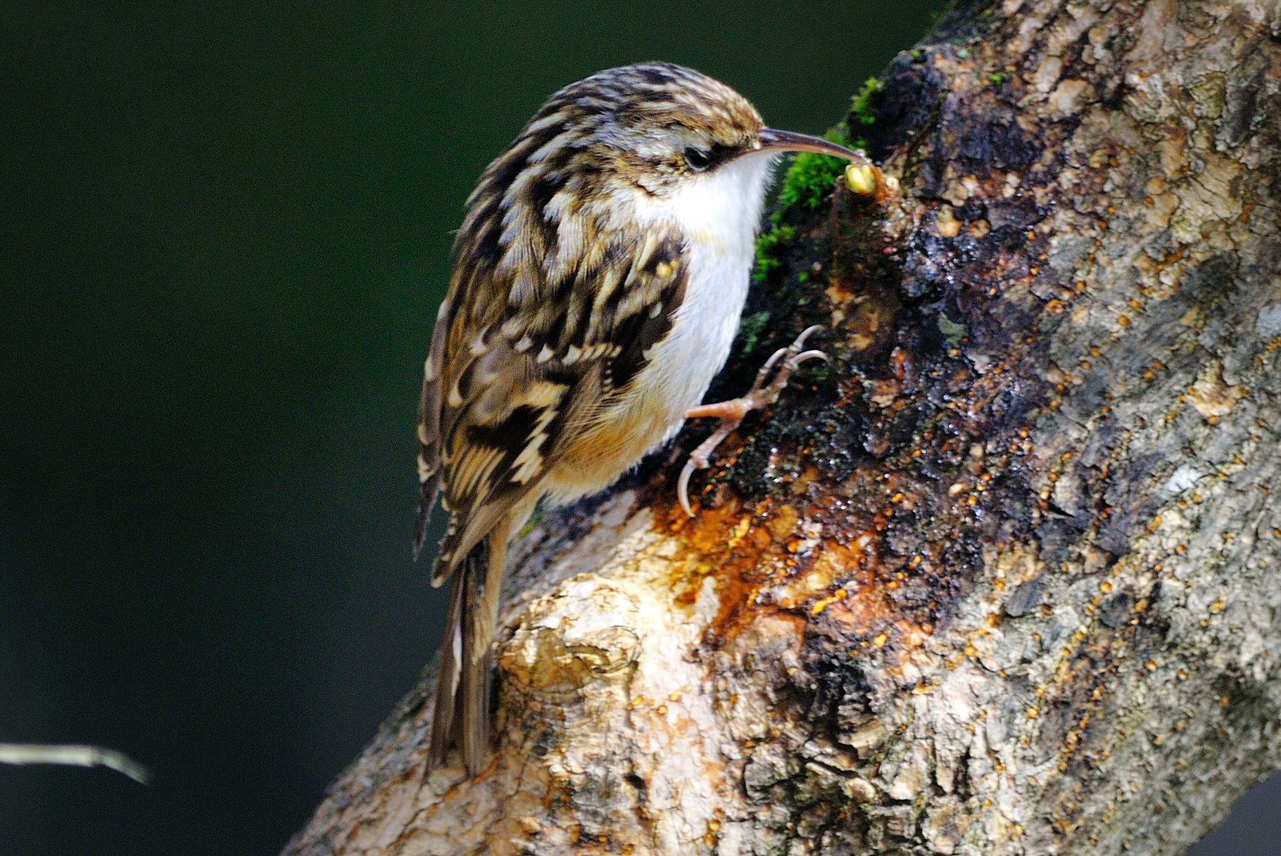 _DSC3238 Grimpereau des bois-Certhia familiaris - Eurasian Treecreeper