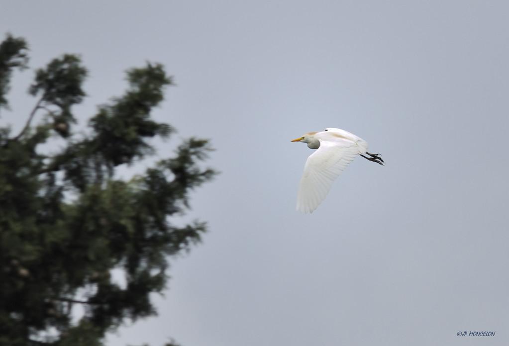 _DSC2446Héron garde-boeufs-Bubulcus ibis