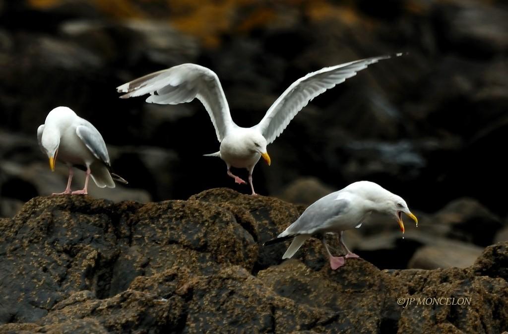 _DSC7313-Goéland argenté-Larus argentatus - European Herring Gull