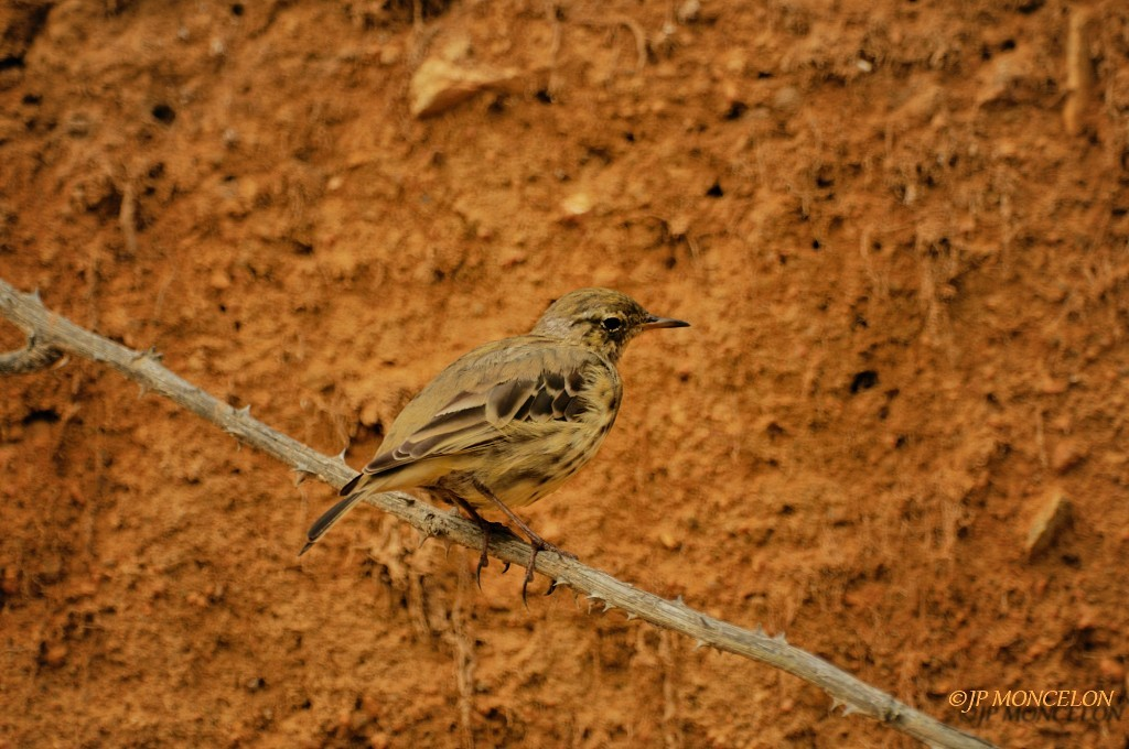 -Pipit farlouse-Anthus pratensis - Meadow Pipit