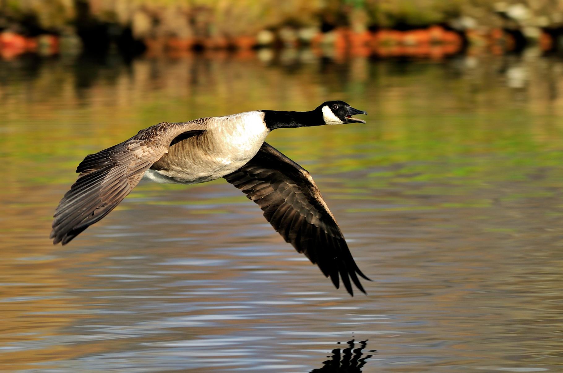 Bernache du Canada-Branta canadensis - Canada Goose_DSC1011