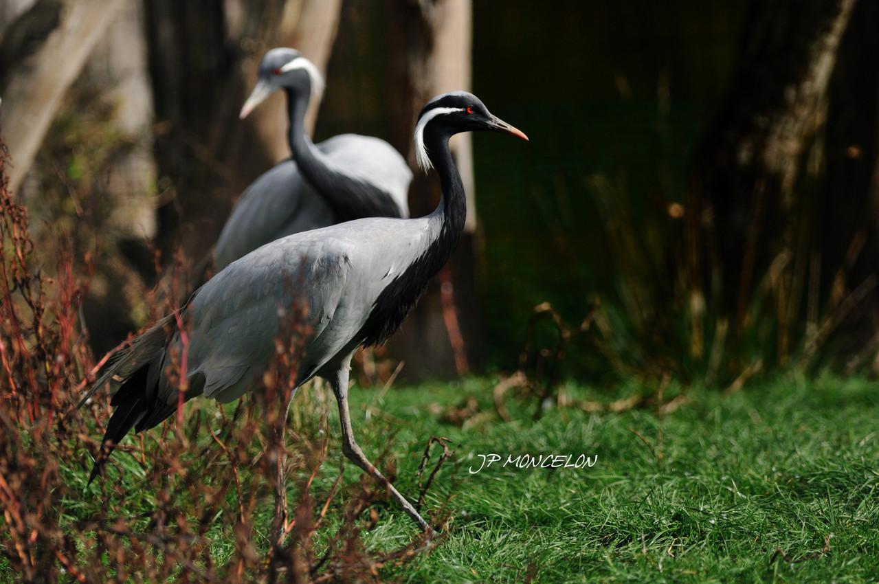 DSC_0874-Grue de Mandchourie-Grus japonensis-Red-crowned Crane
