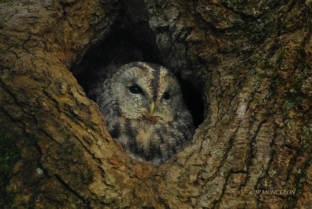 _DSC8629-Chouette hulotte-Strix aluco - Tawny Owl