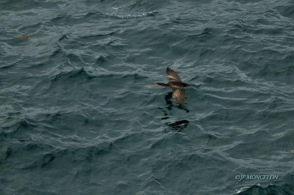_DSC6819_Grand cormoran-Phalacrocorax carbo