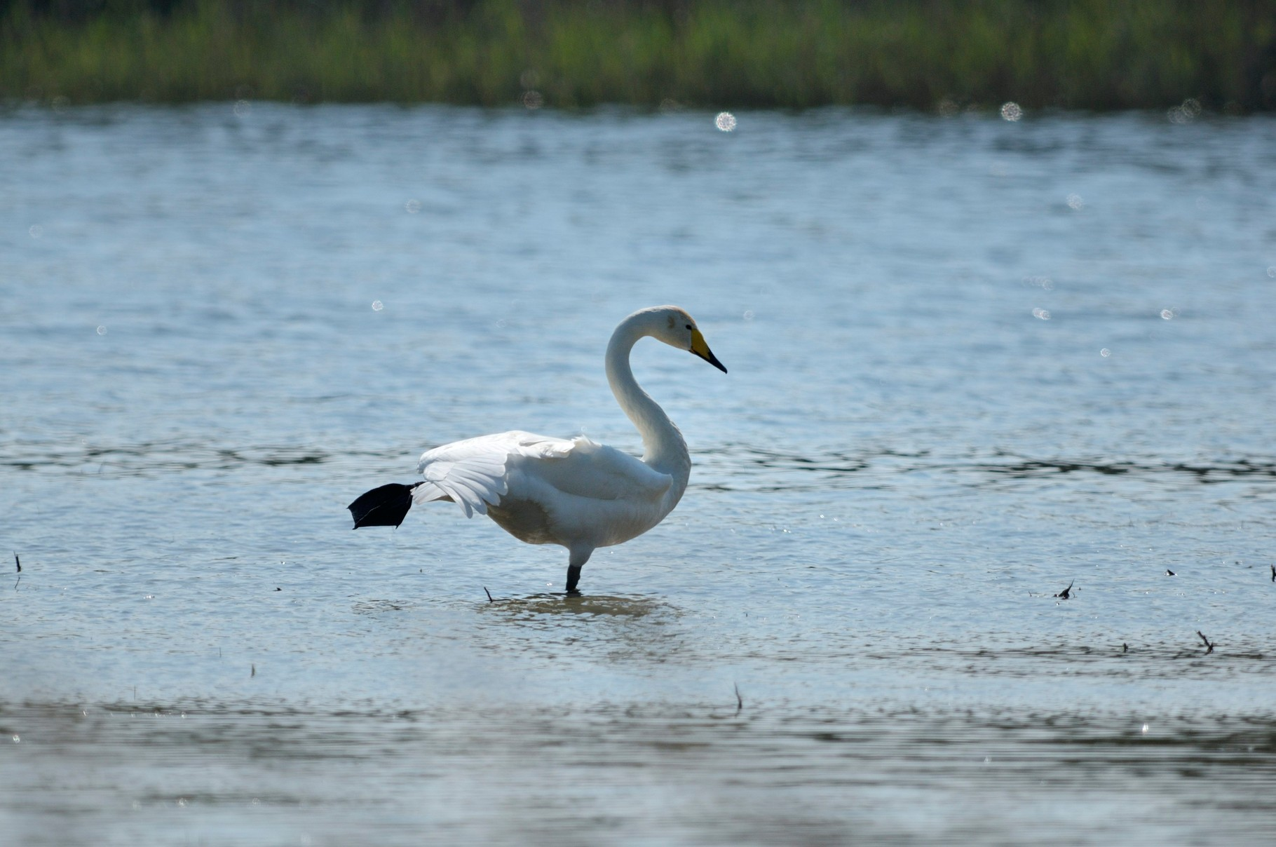 Cygne chanteur-Cygnus cygnus - Whooper Swan_DSC1141