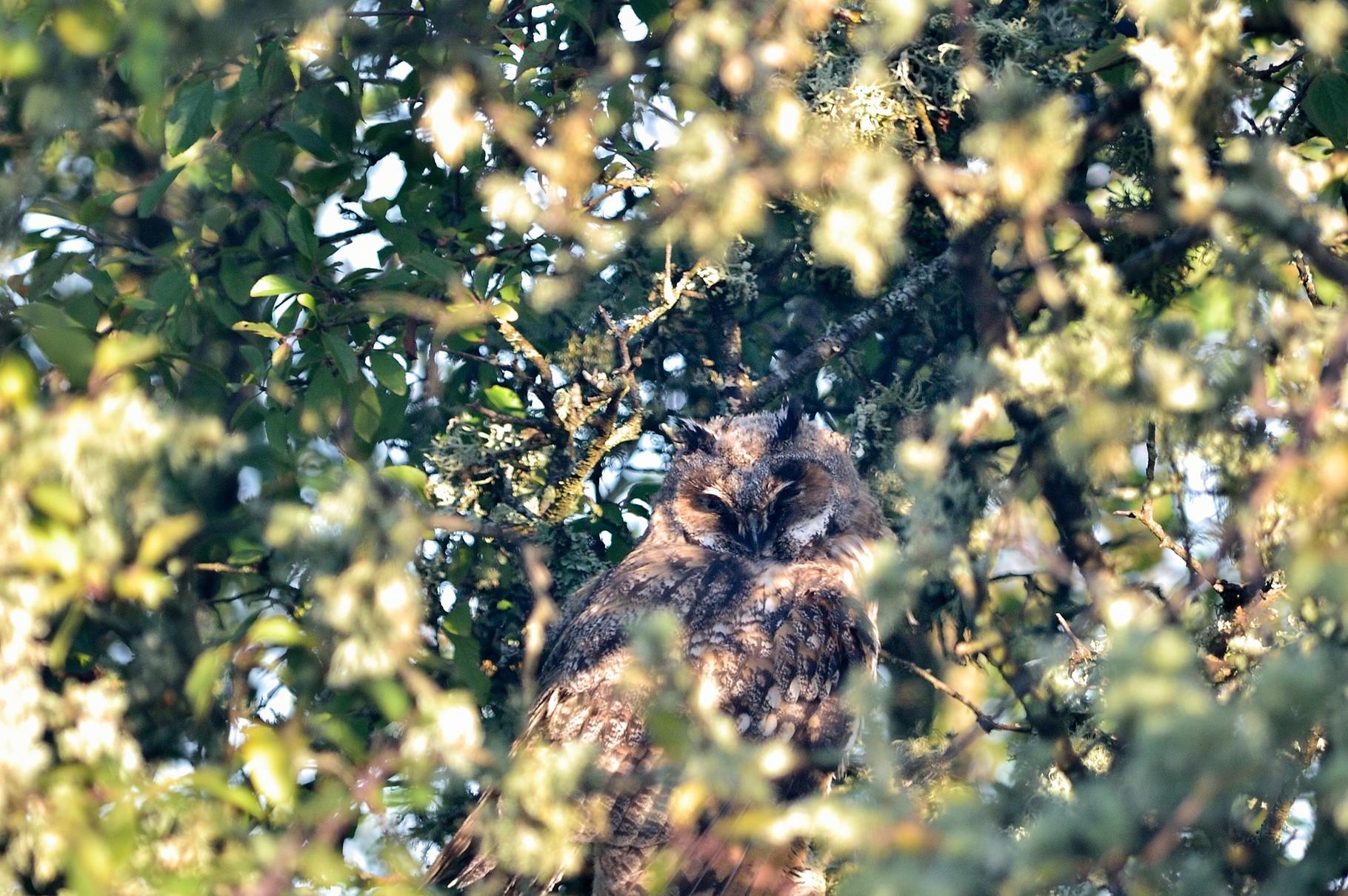 _JPM2924-Hiboux moyen-duc-Asio otus - Long-eared Owl