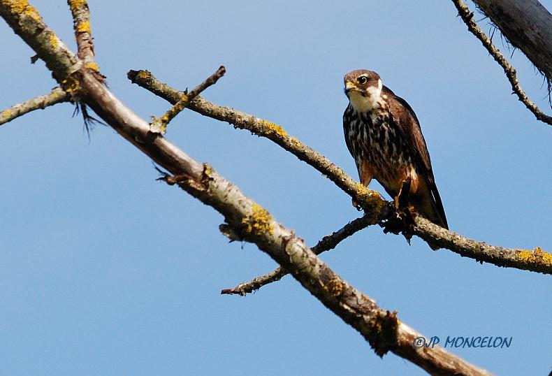 DSC_4867-Faucon hobereau-Falco subbuteo