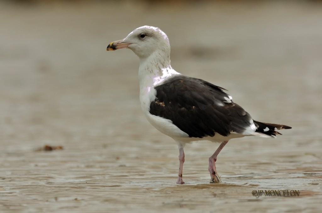 _DSC7093-Goéland marin-Larus marinus - Great Black-backed Gull