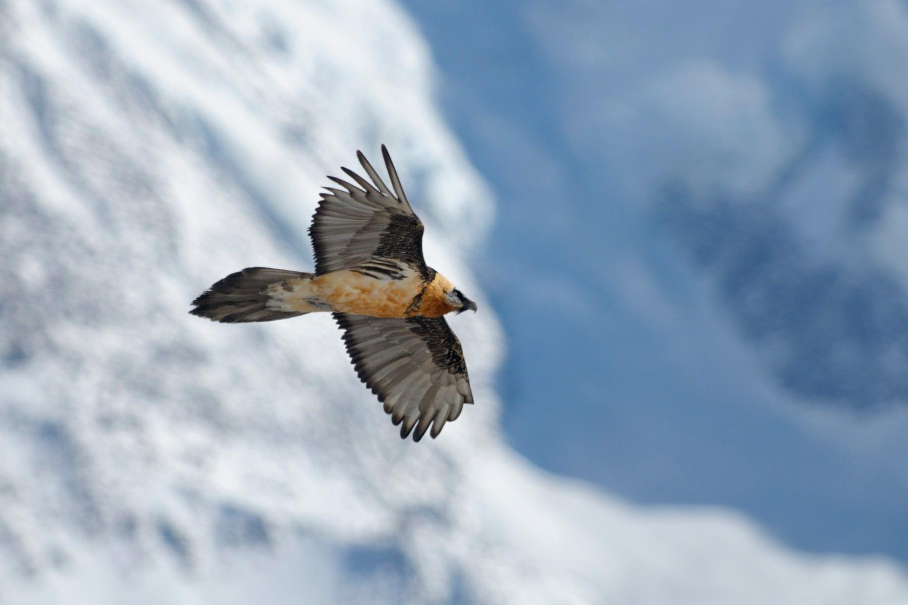 _DSC0230_Gypaète barbu-Gypaetus barbatus - Bearded Vulture