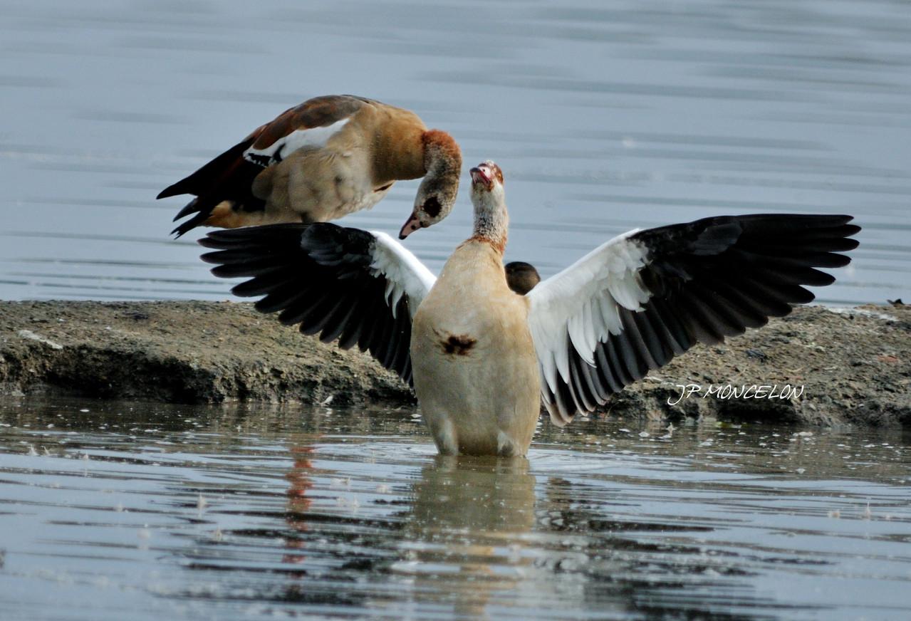 DSC_1069-Ouette d'Egypte-Alopochen aegyptiaca - Egyptian Goose