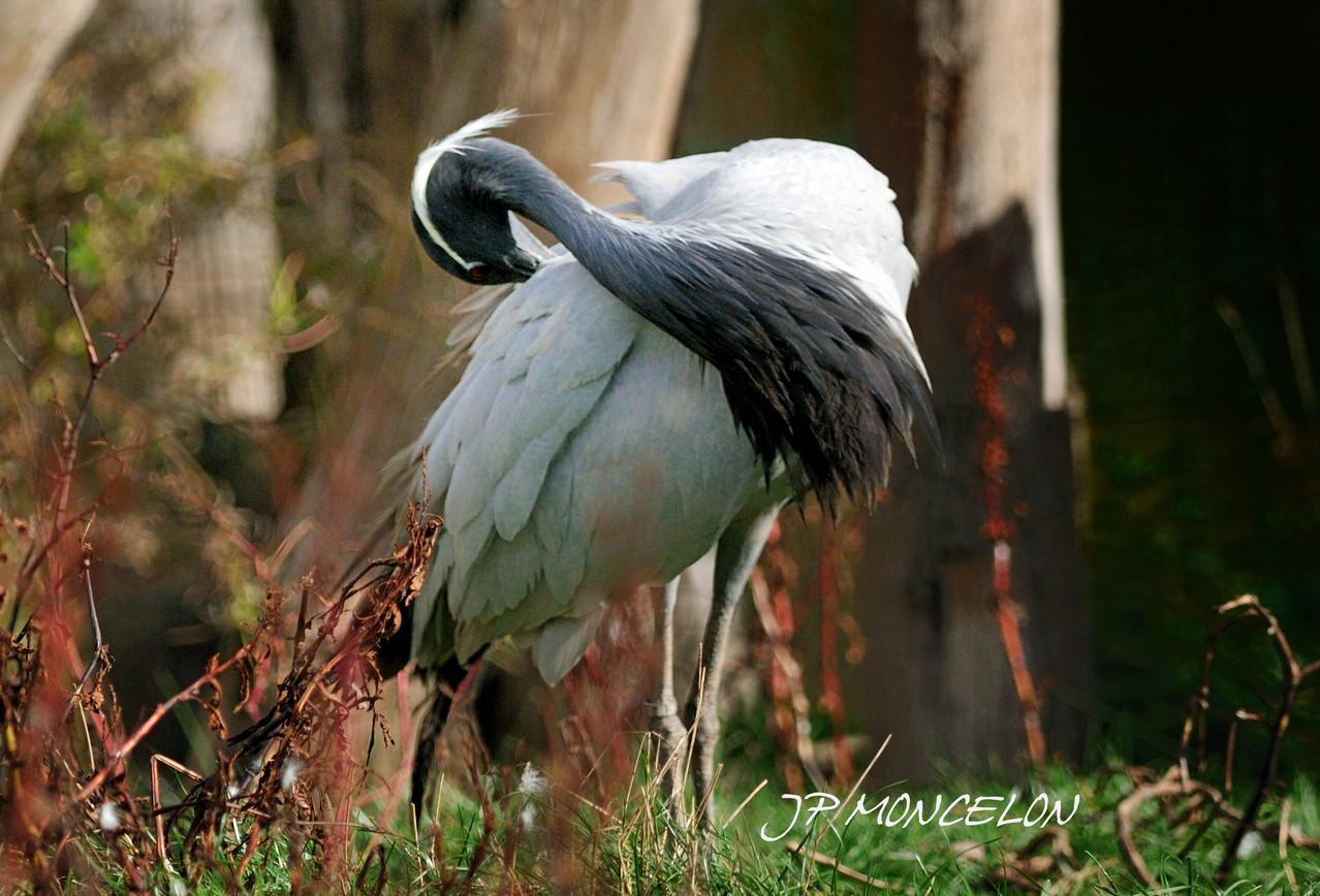 DSC_0873-Grue de Mandchourie-Grus japonensis-Red-crowned Crane