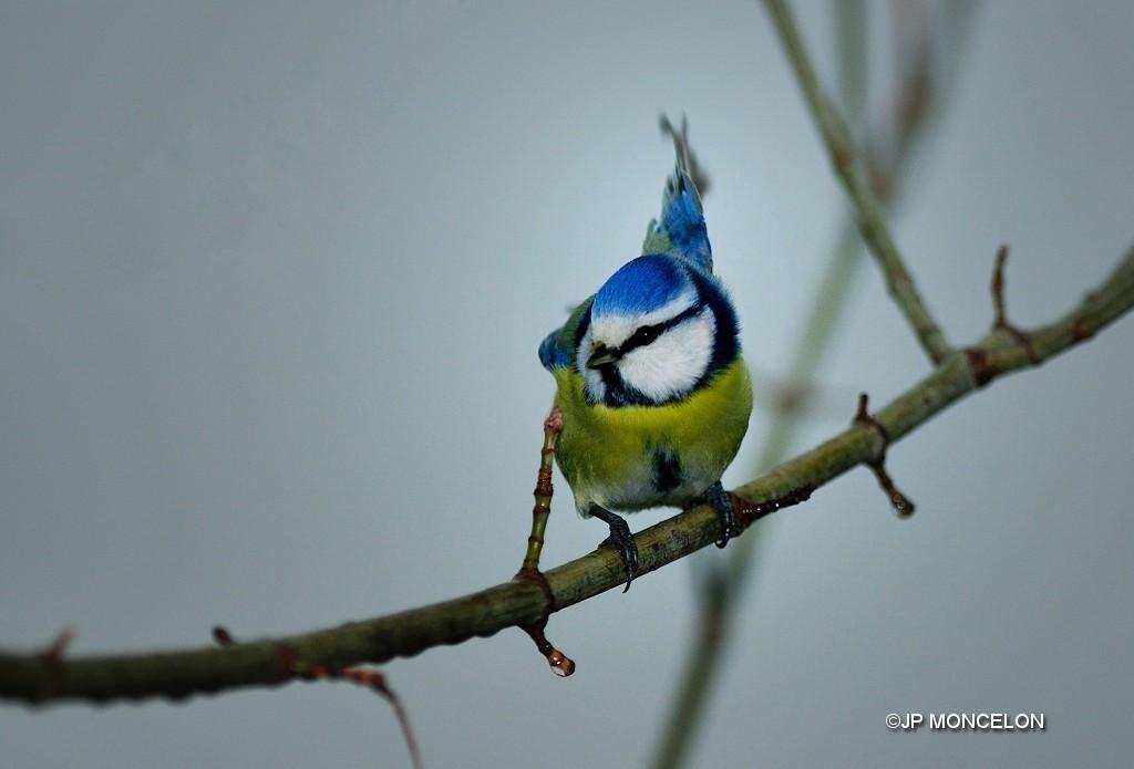 _DSC2339-Mésange bleue-Cyanistes caeruleus