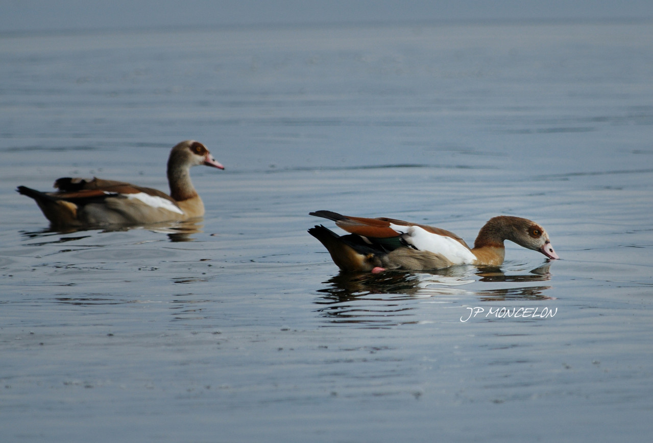 DSC_1065-Ouette d'Egypte-Alopochen aegyptiaca - Egyptian Goose