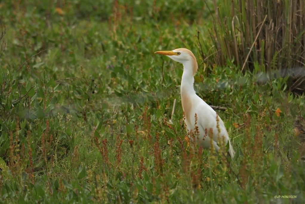 _DSC2424Héron garde-boeufs-Bubulcus ibis