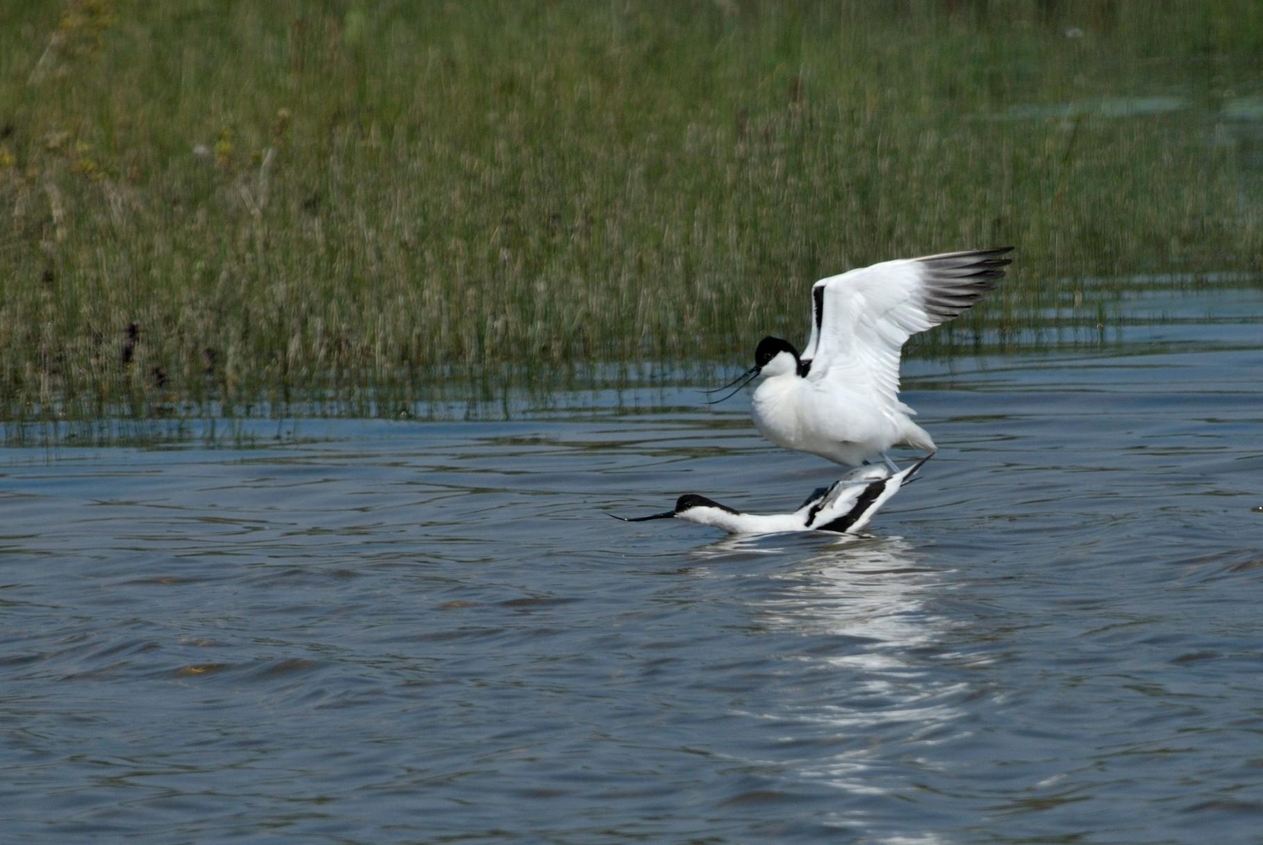 Avocette élégante-Recurvirostra avosetta - Pied Avocet_DSC1230