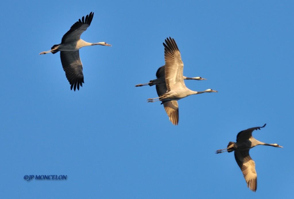 _DSC0178-Grue cendrée-Grus grus - Common Crane