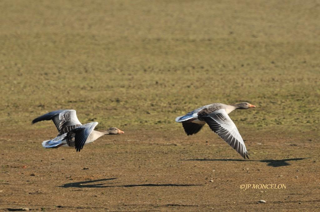 _DSC0123-Oie cendrée-Anser anser - Greylag Goose