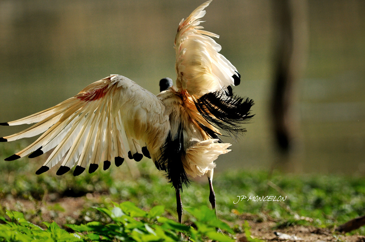 DSC_0877-Ibis sacré-Threskiornis aethiopicus-Sacred Ibis