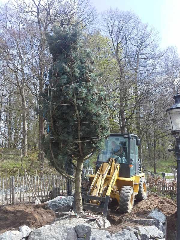 Für den Transport und die Pflanzung wurde die Baumkrone mit einem Netz geschützt.