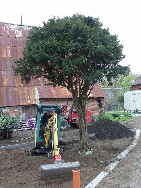 Wenn der Baum steht, wird die Erde angeglichen, gewässert und gedüngt.