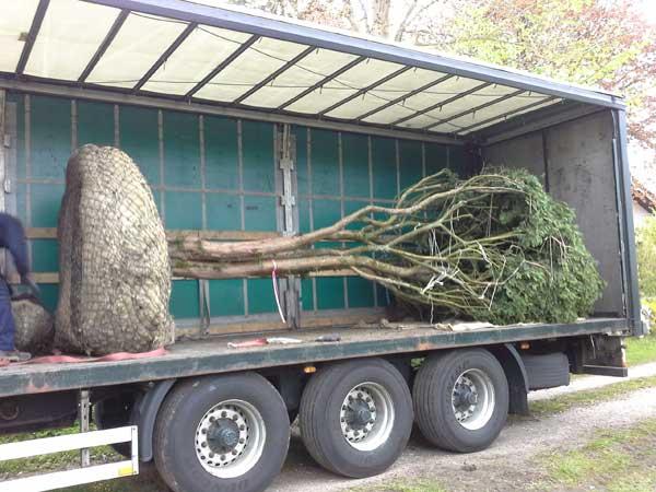 Der Baum ist für die Pflanzung im Ballen vorbereitet. Im LKW wird er angeliefert.