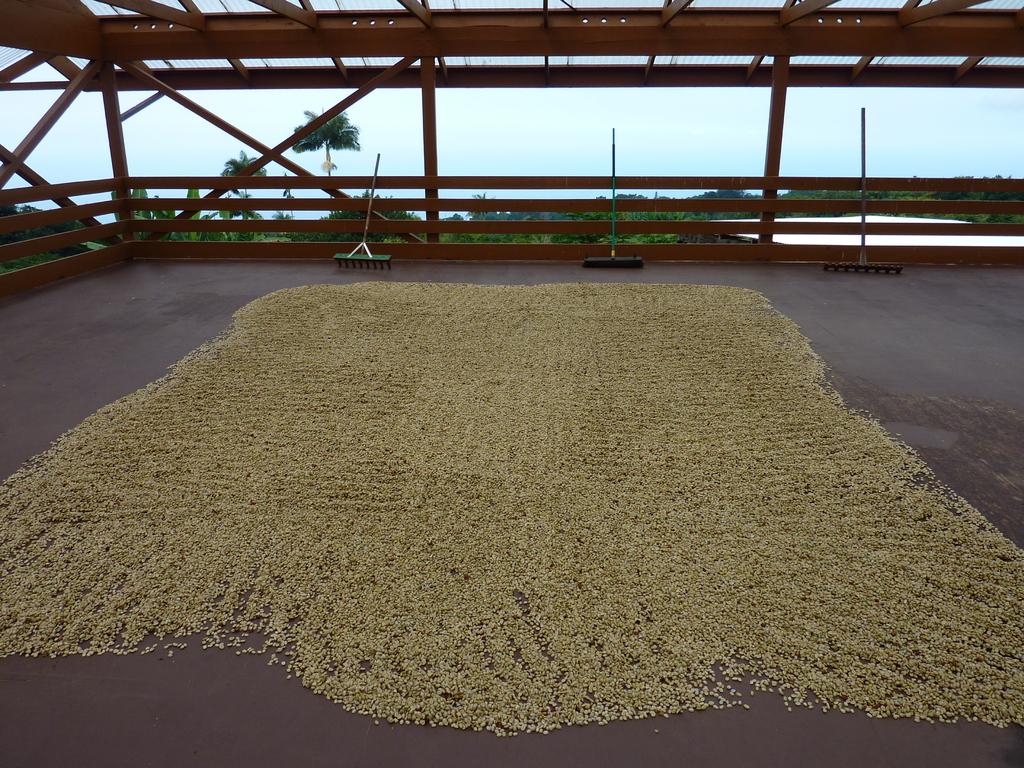 水洗いした豆はホシダナに広げ、1週間ほど天日乾燥させます。