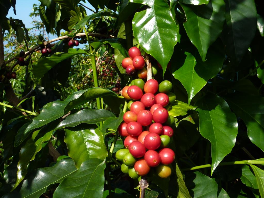赤く熟した実(コーヒーチェリーと呼びます)だけを選んで、手で摘みます。