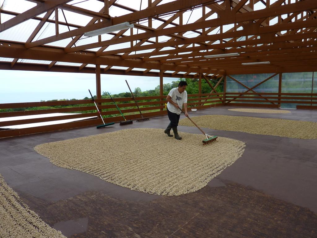 早く自然乾燥させるため、日に数回レイキを使って広げた豆の向きを変えます。