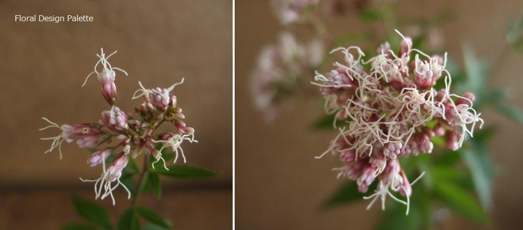フジバカマの花 拡大写真