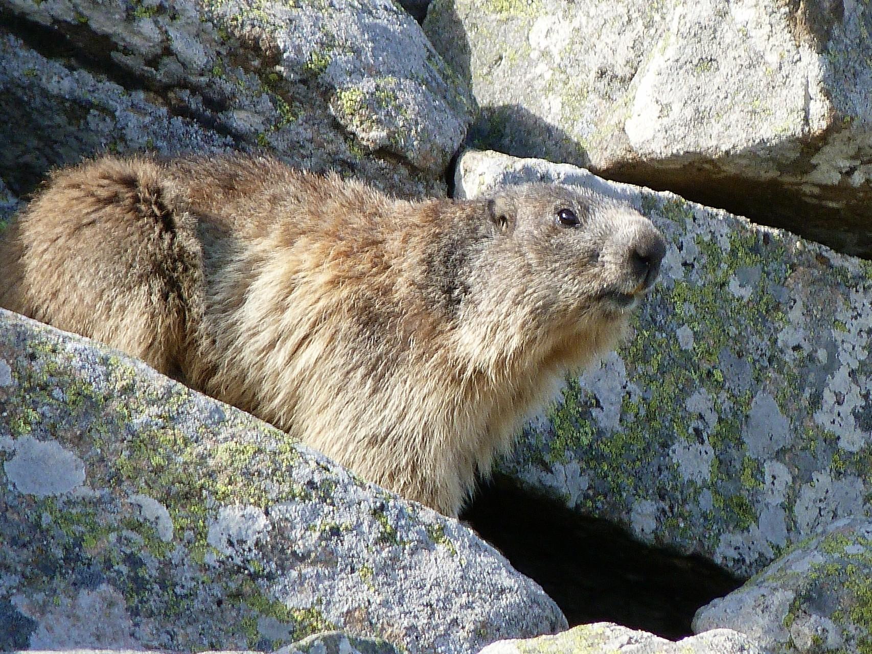 Marmotte à l'affût