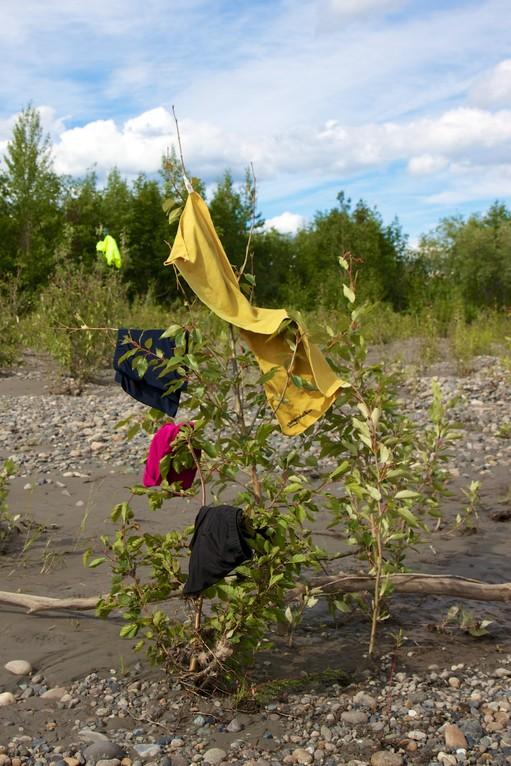 Und ausgiebiges Trocknen der Lappen-Birke, bot.: betula lappus.