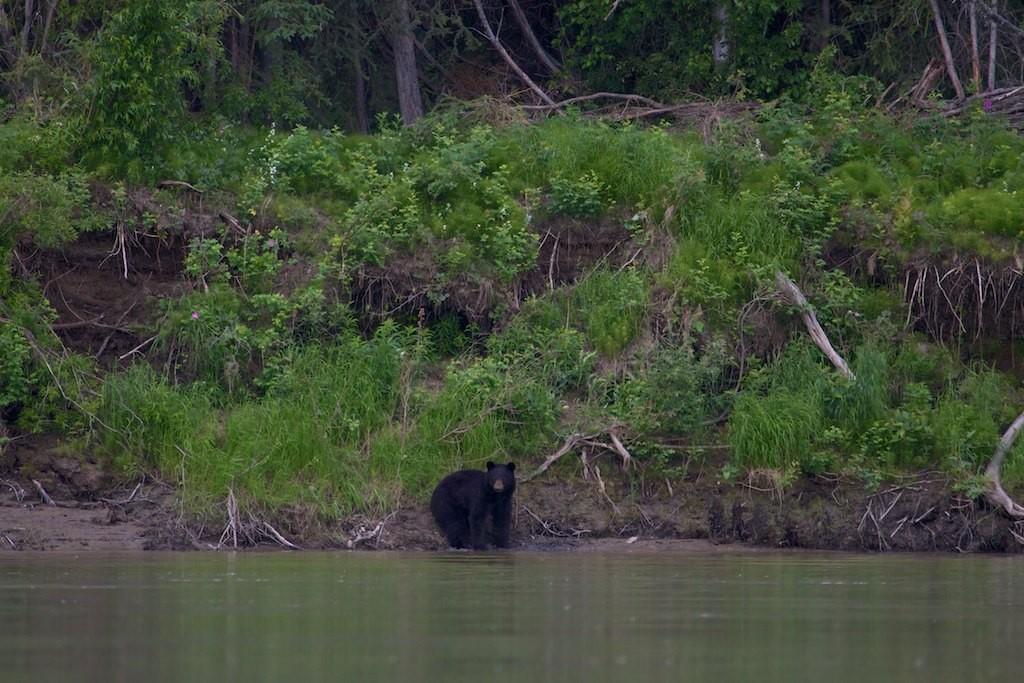 Ein Schwarzbär beäugt uns.