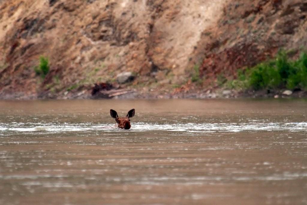 Und dann schwimmt ein Elch vorbei.