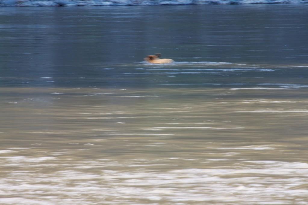 Da schwimmt ein Bär im Pelly, kleine Blende, lange Verschlusszeit, Hektik, danach Gegenlicht. War wohl nichts!