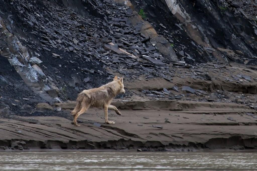 Fast unbemerkt überholt uns ein Wolf..