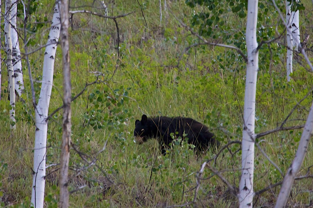 Ein Bär, eine schwarzer Schwarzbär, leider sehr weit entfernt.