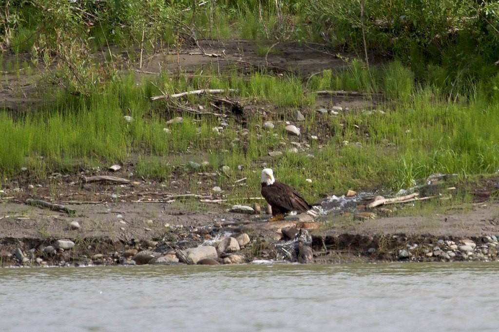 Der Adler lässt sich nicht stören nur das Wasser ist zu unruhig zum Fotografieren.
