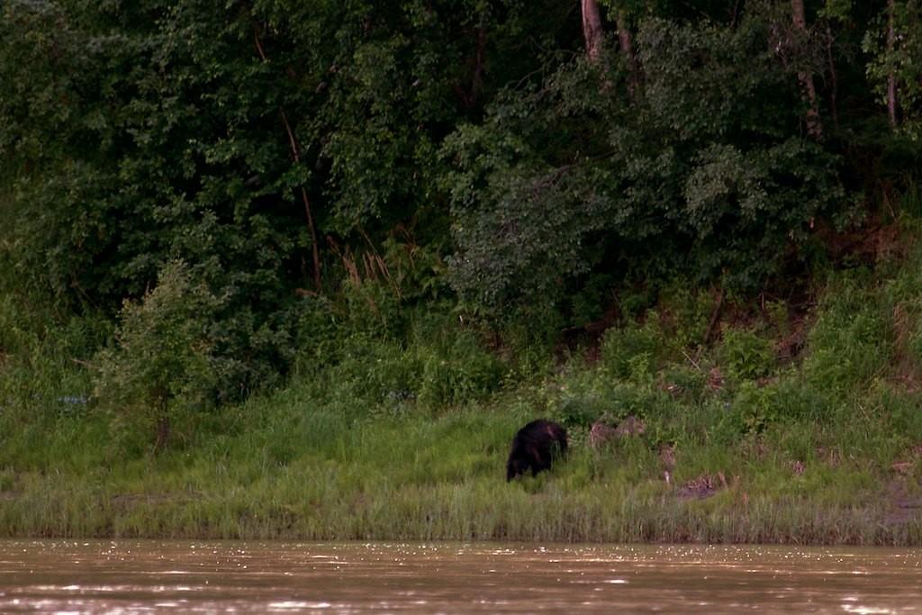 Unsere erster Bär, leider auf der anderen Uferseite.