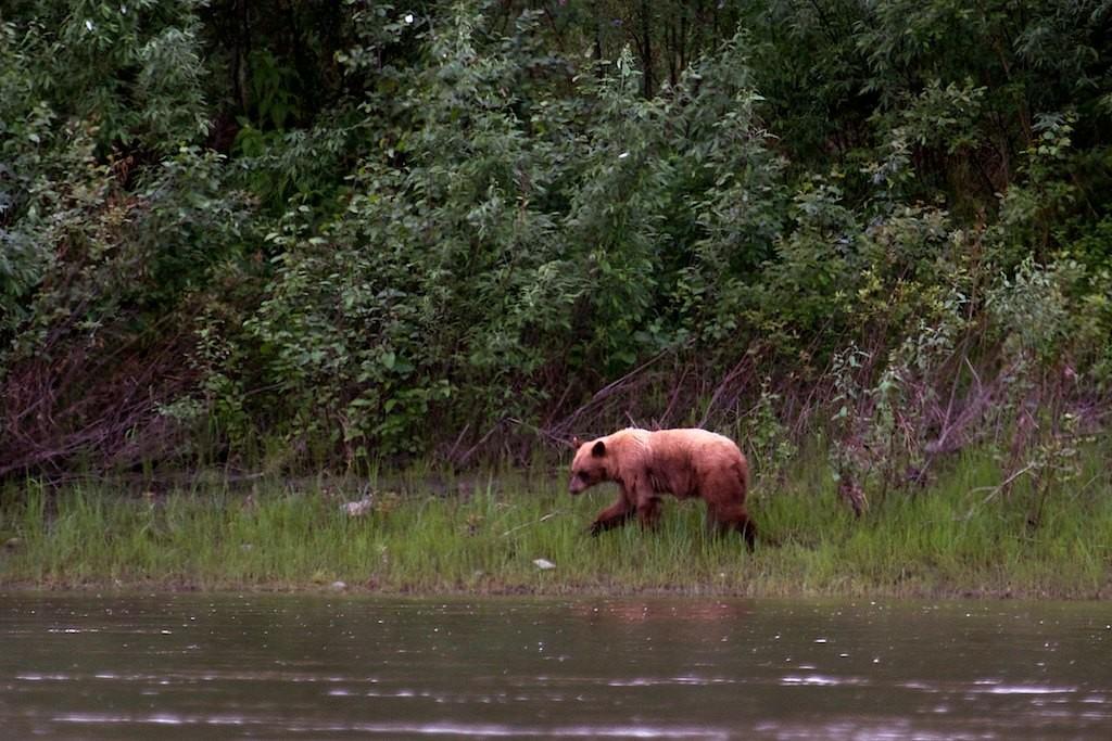 Gleich danach der zweite Bär, diesmal ein Grizzly.
