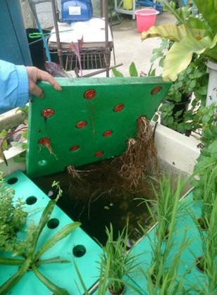 Les racines des plantes poussent directement dans le bac à poissons