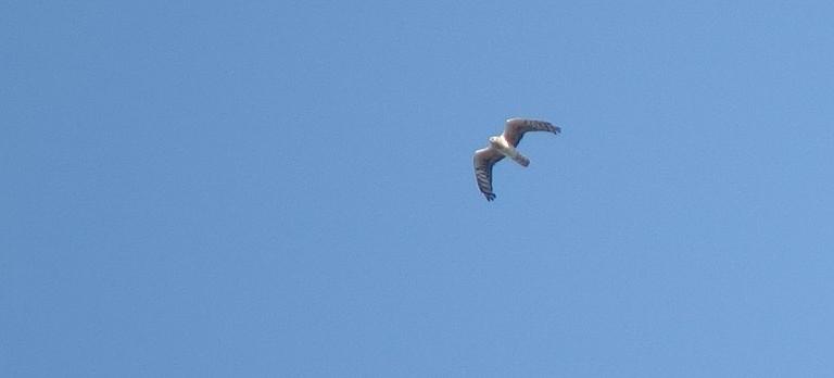 Wiesenweihe (Weibchen), Ibergeregg, 09.2019