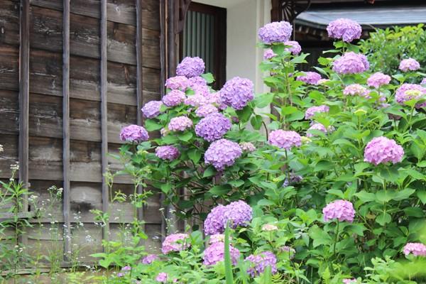 蔵の傍に咲く紫陽花の花