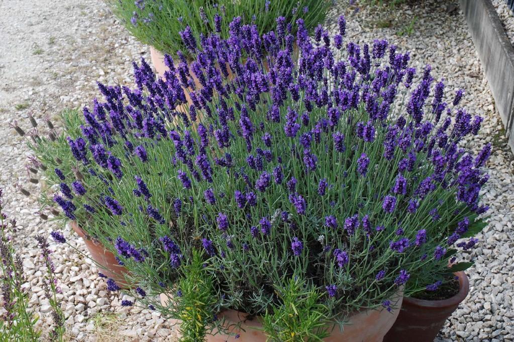 lavendel sorten dunkelblauer lavendel hidcote blue im fr hjahr wird lavendel gepflanzt kraut r. Black Bedroom Furniture Sets. Home Design Ideas