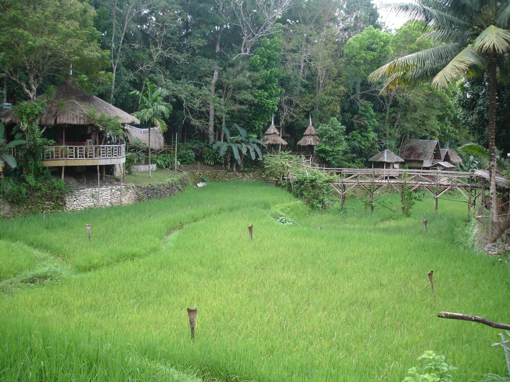 Reisfeld in Bohol / Philippinen