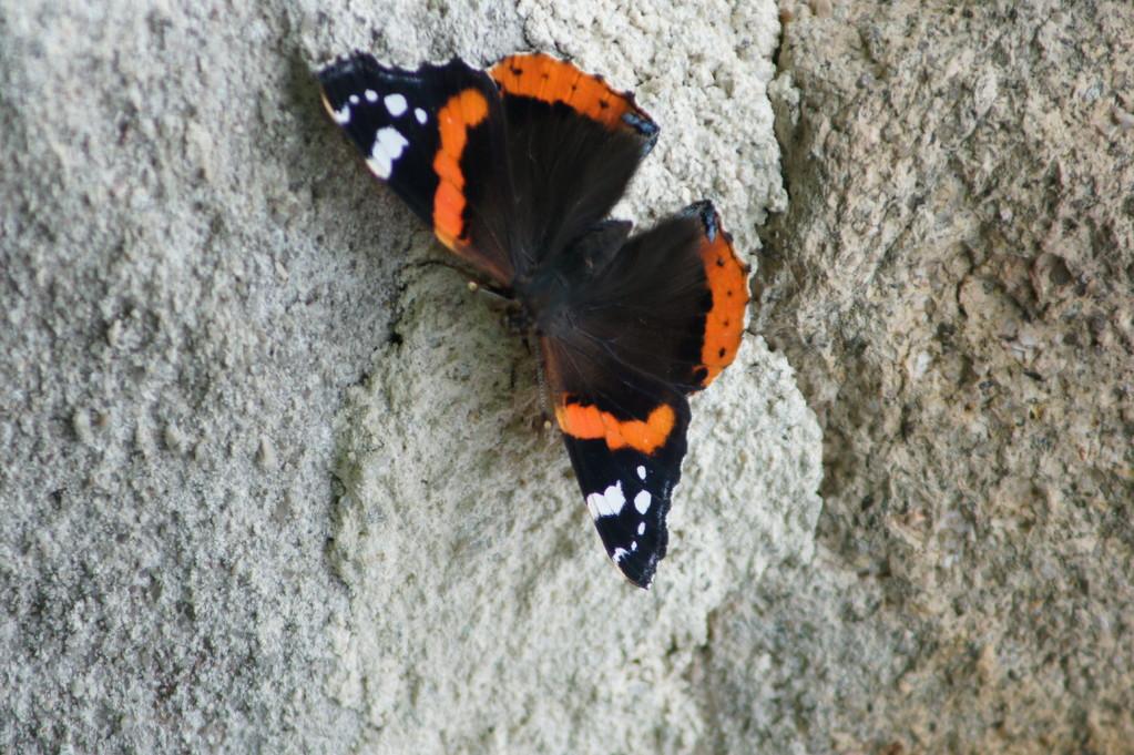 Papillon sur un mur de la maison.