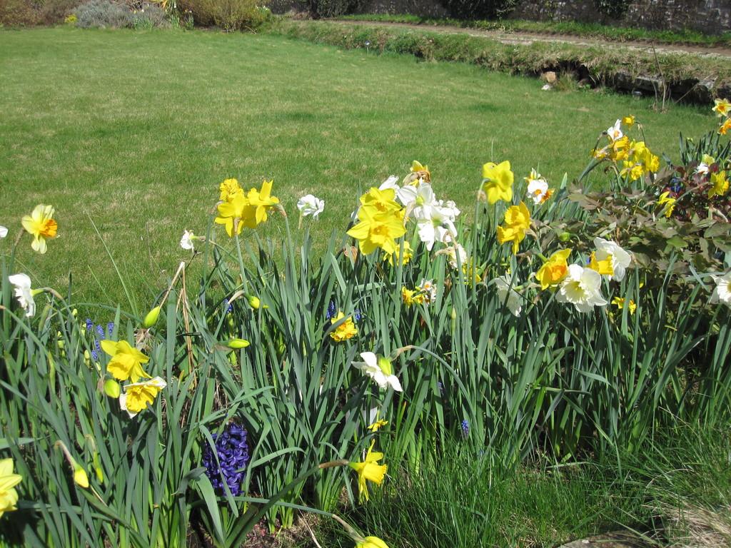 Les bulbes de printemps en fleur devant la maison.