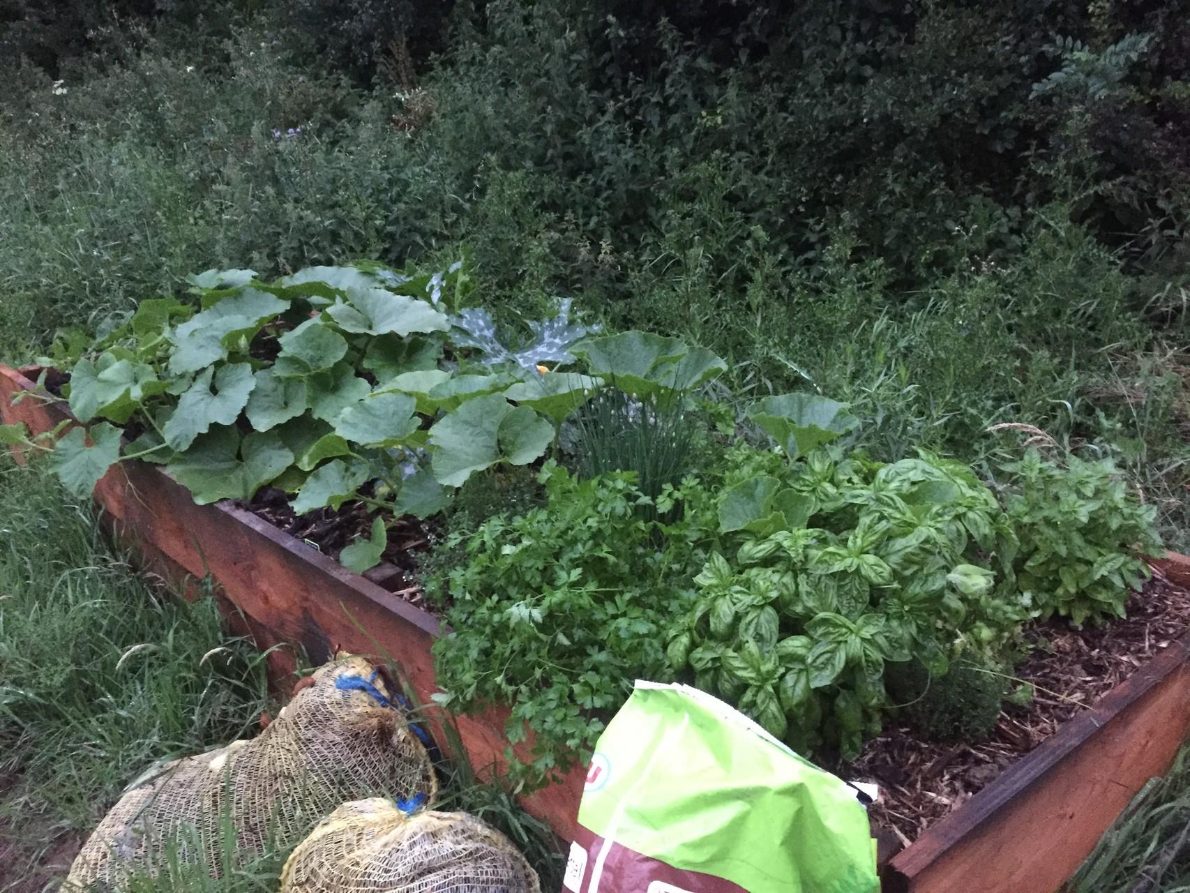 Bac en bois de 3m sur 1m avec des cucurbitacées et des plante aromatiques.