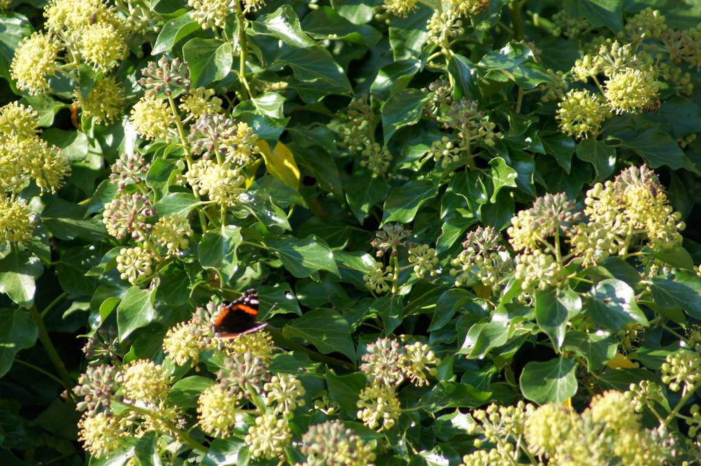 Papillon dans le lierre en fleurs.