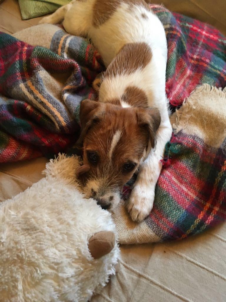 Spirou (geb. 2017) Parson Russel Terrier