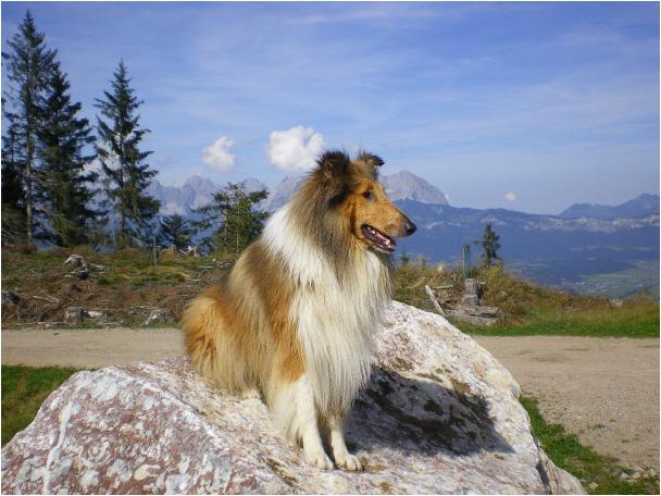 Jasper - (geb. 2008) Langhaar-Collie